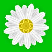 Daisy flower — Stock Vector
