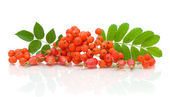 A bunch of rowan berries and rose hips on a white background — Stock Photo