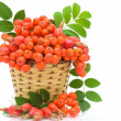 Basket with berries rowand wild roses on white background — Stock Photo #12042954