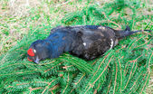 Black grouse on a background of spruce branches — Stock Photo