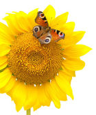 Butterfly sitting on a sunflower on a white background — Stock Photo