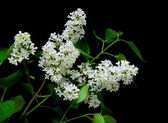 Branch of white lilac on a black background — Stock Photo