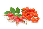 Rosehips and red rowan on a white background — Stock Photo