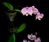 Purple orchid on a black background — Stock Photo