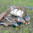 Stock Photo: Trophy hunter. ducks, woodcock and hunting rifle.