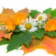 Flowers and autumn leaves on a white background — Stock Photo