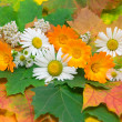 Chamomile, calendula and yarrow on the background of autumn leav — Stock Photo