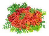 Ripe rowan berries and leaves isolated on white background — Stock Photo