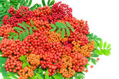 Rowan berries and leaves on a white background. horizontal photo — Stock Photo