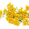 Tansy (Tanacetum Vulgare) isolated on white background — Stock Photo