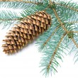 Pine branch with cone on white background — Photo