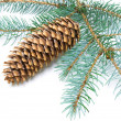 Pine branch with cone on white background — Stock Photo