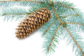Pine branch with cone on white background — ストック写真