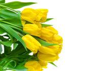 Gele tulpen op een witte achtergrond — Stockfoto