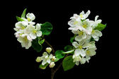 Blooming apple tree branch on a black background — Stock Photo