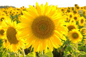 large flowering sunflower on a field close up. — 图库照片