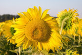 sunflower in a field close-up — Stock Photo