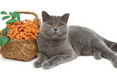 Gray cat and rowan berries on a white background closeup — Stock Photo