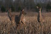 Three Deer In Field — Stock Photo