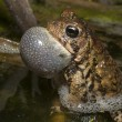 Toad Chirping — Stock Photo