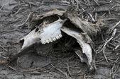 Lebka jelen — Stock fotografie