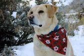 Yellow Labrador Retriever Snow Profile — Stock Photo