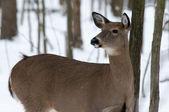 Woodland Winter Deer — Stock Photo