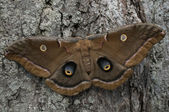 Polyphemus Moth — Stock Photo