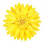 Yellow Gerber — Stock Vector