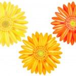 Yellow And Orange Gerbers — Stock Vector