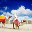 Camel on Dubai Marina — Stock Photo