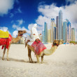 Camel on Dubai Marina Beach - Stock Photo