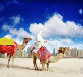Camel on Dubai Marina — Stock Photo