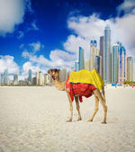 Camel in Dubai Marina — Stock Photo