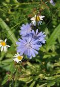 The flower chicory — Stock Photo