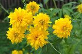 Çiçek rudbeckia — Stok fotoğraf
