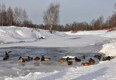 Canards sur la rivière — Photo