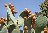 The cactus with fruits — Stock Photo