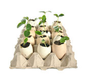 Seedlings of cucumbers in the eggshells — Stock Photo
