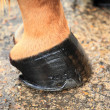 Horse hoof — Stock Photo