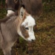 Young donkey young ass - Stock Photo
