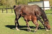 与他的母亲在春天中的一个字段的年轻小马驹 — 图库照片
