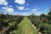 Apple orchard — Photo