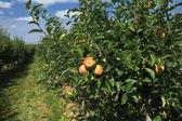 Pomar de maçãs — Foto Stock