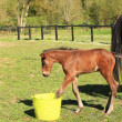 Young foal who playing with a bucket of water — Foto Stock
