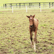 Royalty-Free Stock Photo: Young foal has his first steps in the meadow