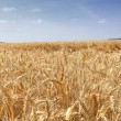 Wheat fields under the sun in the summer before harvest — Stock Photo #13618434