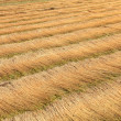 Royalty-Free Stock Photo: Fields of flax harvested drawing lines on the floor
