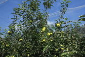 Apple orchard with a safety net — ストック写真