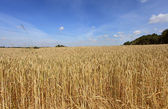 Wheat fields under the sun in the summer before harvest — Stock Photo